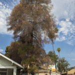 Drought Stressed Tree_credits TreePeoplesmall